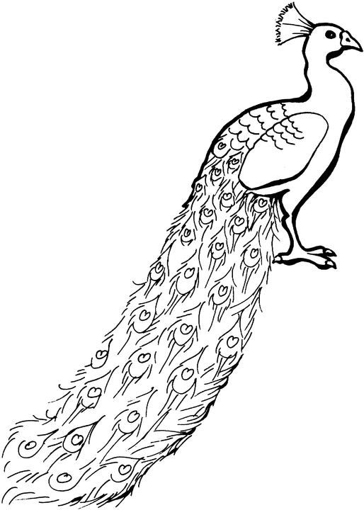 Peacock Cartoon Pictures